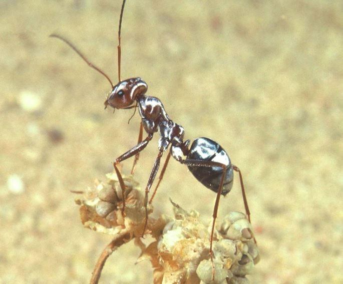 撒哈拉銀蟻是世界上最快的螞蟻,驚人步頻(跑步時腳步交換的頻率)達到世界百米紀錄保持人波爾特(Usain Bolt)的10倍以上。(圖擷自@that_groyper推特)