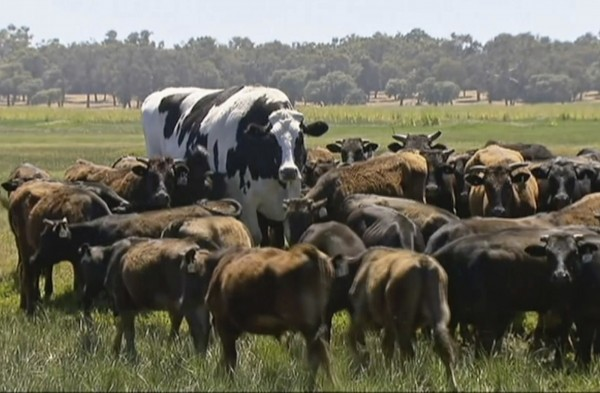 「內褲」在群體中總是非常突出,「細漢們」都會跟隨或圍繞在牠身邊,「內褲」何時移動飼主皮爾森都知道。(美聯社)