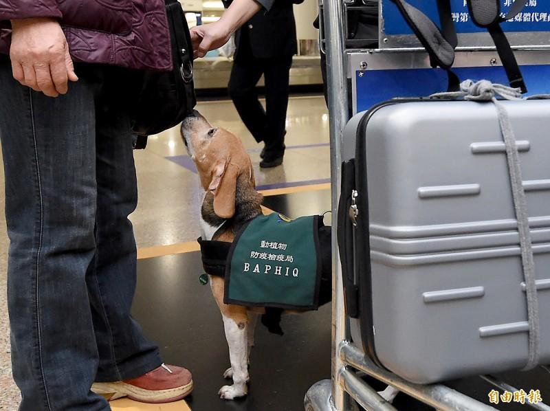 檢疫犬在機場執勤防疫稽查。(資料照)