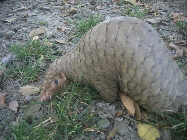國際保育團體譴責不該將穿山甲吃到絕種,呼籲中國和越南別再捕食。(資料照,記者謝銀仲攝)
