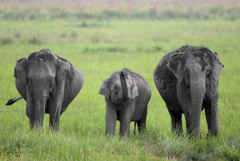 印度政府統計,從2013年到今年6月,大約有70隻大象被火車撞死,大部分位於該國東北部的阿薩姆邦和西孟加拉邦北部。(美聯社)