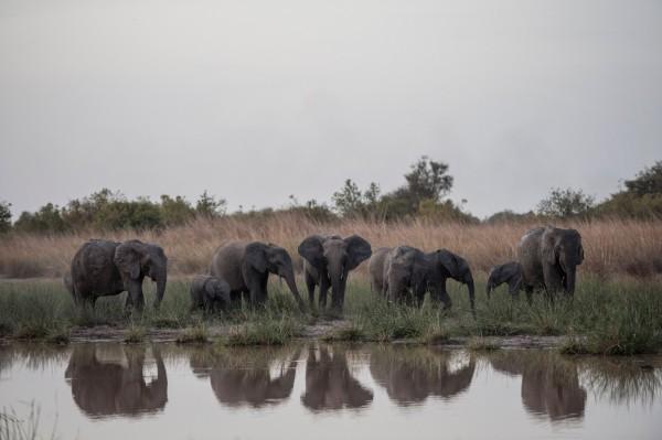 近年來,非洲有部分國家針對象牙禁售的嚴格規定頗有微詞,希望能放寬對合法象牙貿易的管控,不過有另一派的非洲國家抱持反對態度。圖為非洲野生大象。(法新社)