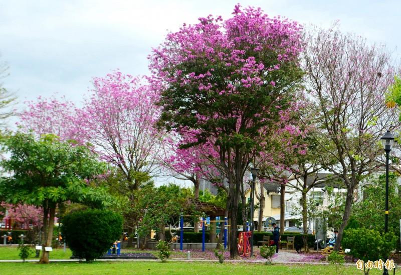 太平區大源公園裡的紅花風鈴木近日大爆花,吸引許多民眾來賞花、拍照。(記者陳建志攝)