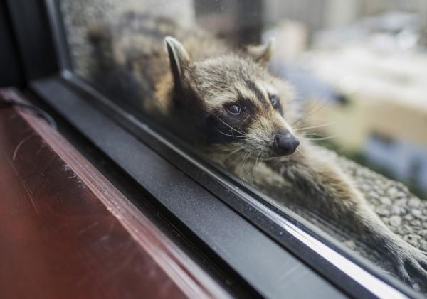 這隻小浣熊攀上銀行大樓外牆,引起圍觀。(美聯社)