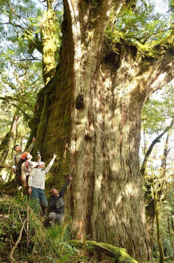 台東林管處在大浦山發現最大的紅檜需10人環抱。(記者黃明堂翻攝)