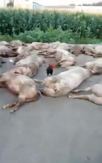 中國3日起傳出首次爆發非洲豬瘟,地點位於遼寧瀋陽市,造成許多農戶的豬隻死亡。(圖擷取自臉書)