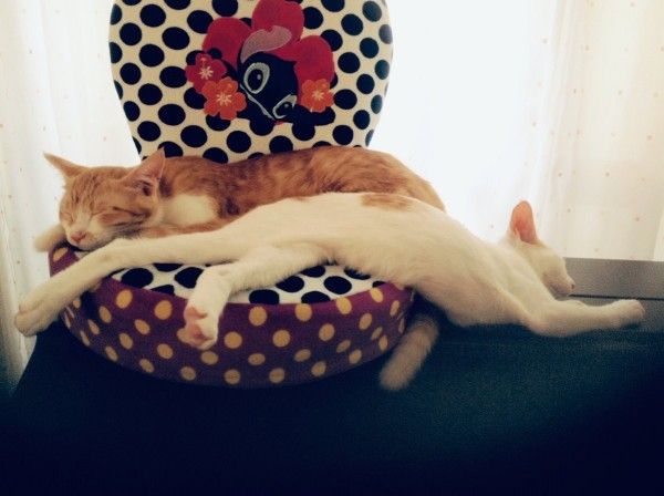 兩隻貓咪一同展現柔軟度。(圖擷自推特)