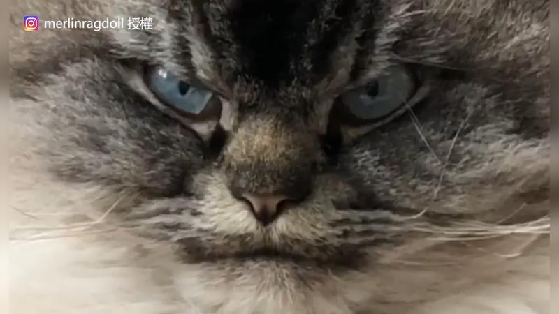 眼神看起來很凶狠的布偶貓Merlin。(Instagram merlinragdoll 授權)