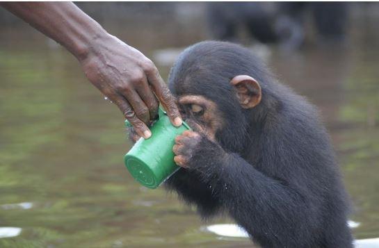 美國人道主義協會接手照顧黑猩猩事宜,讓猩猩們可以安穩生活。(圖擷自人道主義協會臉書)