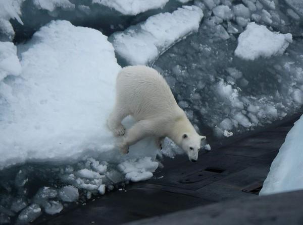 俄羅斯1架核潛艇日前在北極海域巡航途中,為了丟垃圾而浮出水面,沒想到有隻北極熊看到之後,竟然爬到潛艇上覓食。(圖擷取自推特)