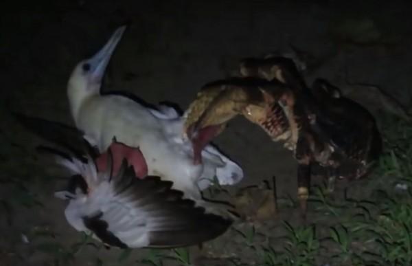 椰子蟹控制海鷗行動,隨後同伴前來分屍海鷗。是史上首次觀察到椰子蟹有獵捕大型脊椎動物的行為。(圖擷自YouTube)