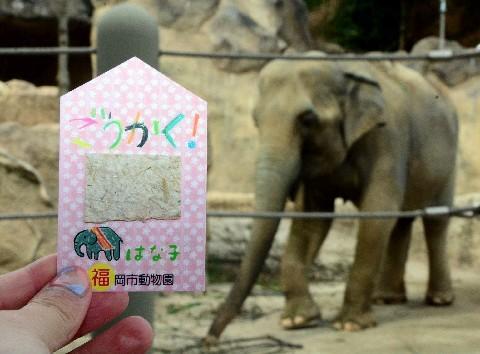 日本動物園推出用大象「糞便」製成的御守,希望能帶給考生好運。(圖片擷取自《西日本新聞》)