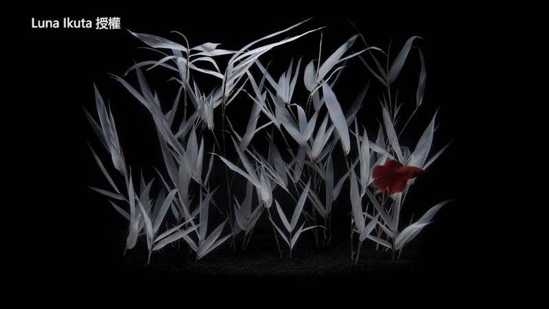 半透明的箭竹。(Luna Ikuta 授權)