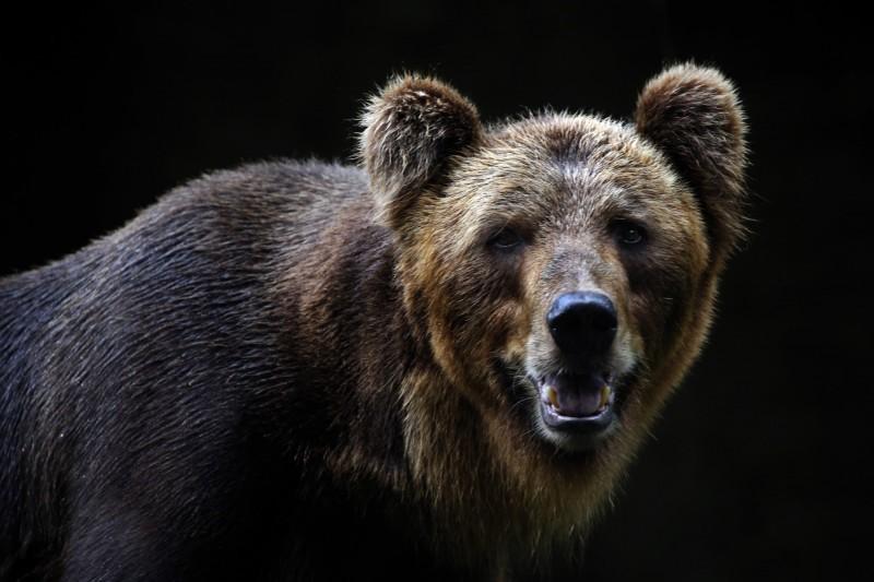 俄羅斯日前傳出一名3歲小男孩因迷路和家人走散,獨自在有許多野獸的森林度過2晚幸運獲救。棕熊示意圖。(歐新社)
