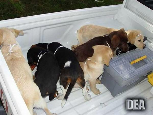 哥倫比亞獸醫學生埃洛雷茲(Andres Lopez Elorez),將9袋液體海洛因植入幼犬體內,企圖走私到美國。 (美聯社)