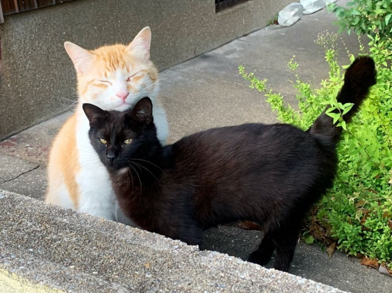 眼看網友越來越靠近橘貓,黑貓立刻衝到橘貓前「宣示主權」。(圖擷取自推特@neohimeism)