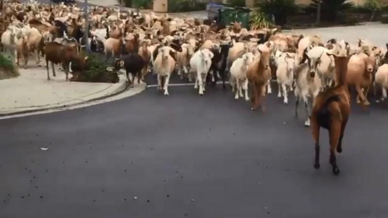 約200隻山羊突破柵欄,闖入美國加州聖荷西東部的一個社區街道,場景驚人。(圖擷取自zach_roelands@Twitter)