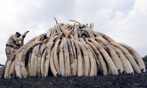 第17屆華盛頓公約CITES締約國會議(CoP17),本月2日於南非約翰內斯堡達成協議,182個締約國同意「全面禁止」各國境內的象牙交易。(路透)