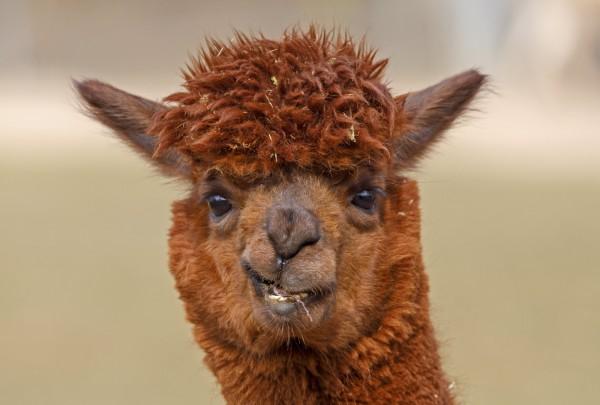 法國一隻「草泥馬」羊駝走進眼鏡行閒逛半小時。(歐新社)