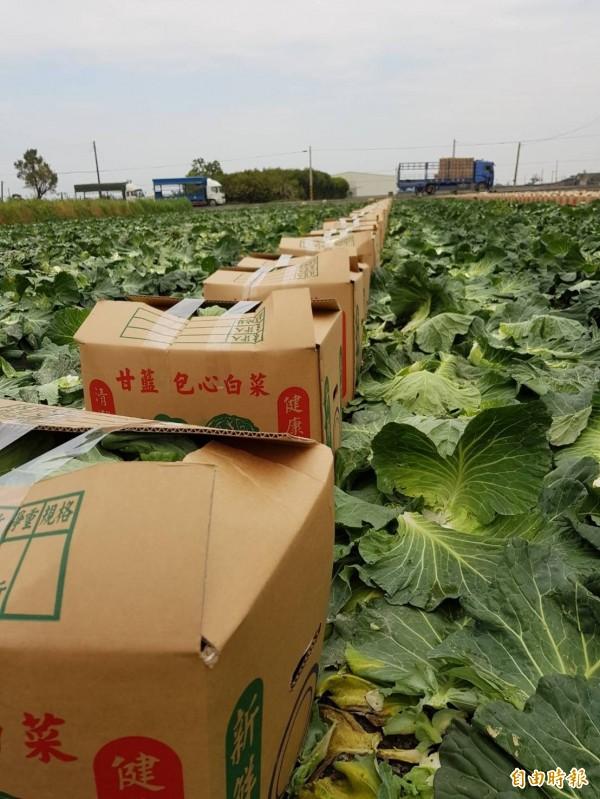 被北農休市波及,春節前雲林高麗菜每公斤17元,今天只剩2塊還求售無門,讓農民心在淌血。(記者廖淑玲攝)