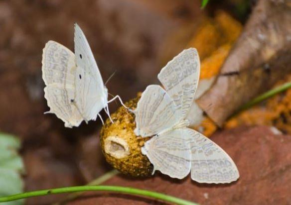 印度東南部東高止山首次出現十分罕見,翅膀有著美麗大理石紋路的淺綠色八目絲蛺蝶,消息振奮印度學術界。(圖擷取自The Hindu)