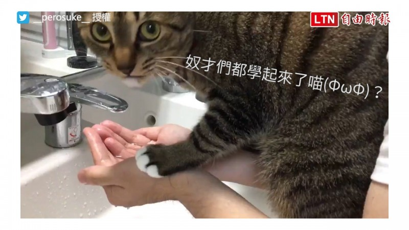 本來以為貓咪是要來妨礙主人洗臉,沒想到竟然另有目的!(圖片由推特帳號__perosuke__授權提供使用)