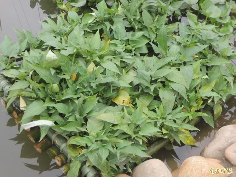 營養師陳鈴如指出,地瓜葉含有豐富的膳食纖維、維生素A、維生素C、維生素E、植化素和鉀、鎂、鈣、鐵等礦物質。(資料照)
