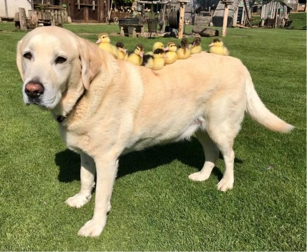 英國旅遊景點芒特菲奇特城堡(Mountfitchet Castle),有隻10歲的拉布拉多犬弗雷德(Fred),近來「收養」了9隻毛茸茸的可愛黃色小鴨。(圖擷自ESSEX@DailyESSEX推特)