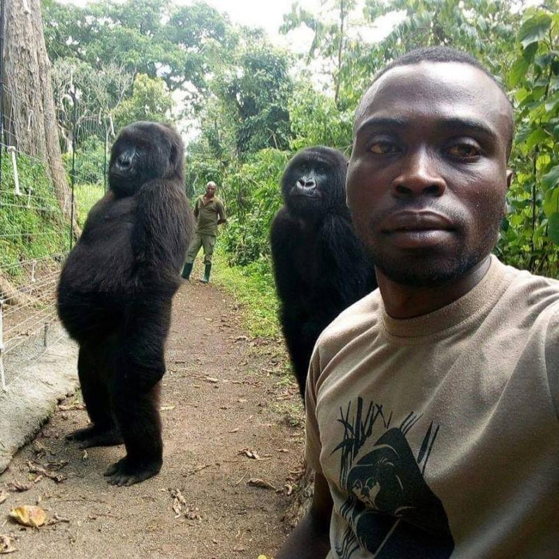 剛果維龍加國家公園反盜獵成員和山地大猩猩自拍,由於猩猩姿勢實在太帥了,因此外國網友幽默地催促穿著猩猩裝的工讀生趕快出來。(圖擷自The Elite AntiPoaching Units And Combat Trackers臉書)