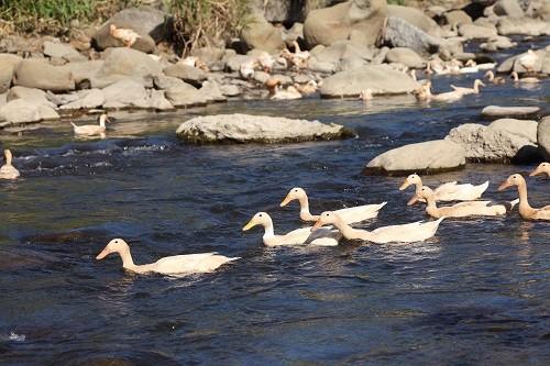 一般養鴨多圈養在埤塘裡的靜水,潘氏農場的褐色菜鴨則是放養在溪流中。(記者潘自強攝)