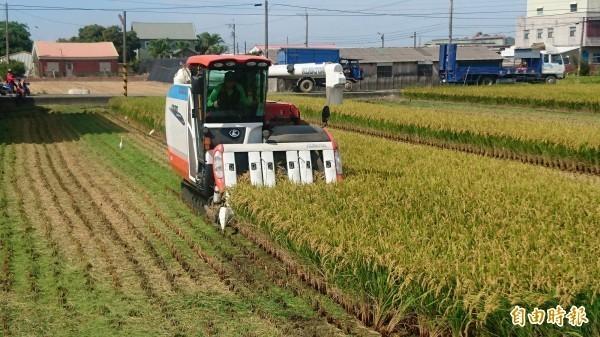 嘉義、台南等地一期稻作已開始收割,部分農民擔心未來幾天將有颱風、鋒面影響,有的稻穀還沒變黃也先搶收青割,有的地方還傳出稻價走跌。(記者楊金城攝)