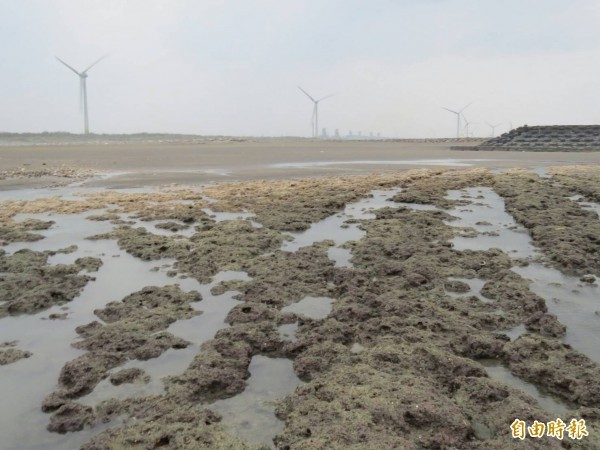 環評委員認為中油第三天然氣接收站開發案對藻礁(見圖)生態系有重大影響之虞,要求「退回目的事業主管機關」,中油申覆今天送到環保署,大幅縮減面積至原來開發面積的1/10。(資料照)
