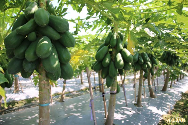 網傳木瓜是百藥之王,還可成為日後治療腫瘤的方法之一,此訊息經證實是假消息。(資料照)