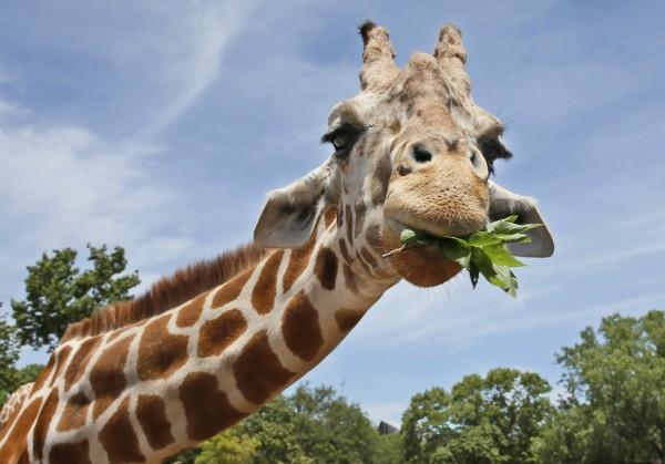 南非一座野生動物園的一名工作人員,昨(29)日慘遭長頸鹿一腳踢死,目前南非警方已展開調查。(美聯社)