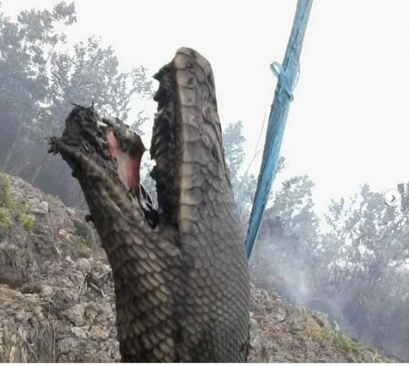 印尼森林大火被燒成焦屍,「蟒蛇王」死前最後掙扎曝光。(圖擷取自「Garda Satwa Foundation」Instagram)