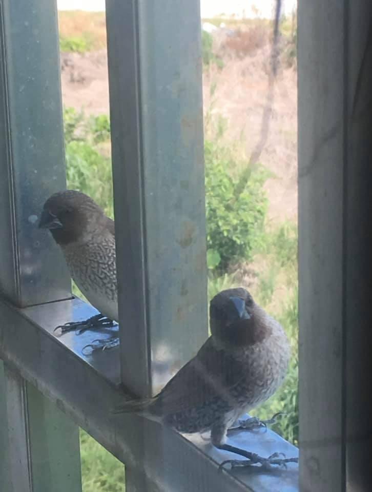 原PO家的窗外不時會出現斑文鳥的蹤跡。(圖擷取自爆廢公社)