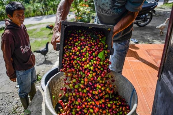 最新研究論文指出,因氣候變遷、疾病與砍伐森林,有60%的野生種咖啡可能滅絕,人類有可能再也喝不到咖啡。(法新社資料照)