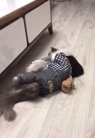 寵物貓摔地後不動倒地,讓網友直呼過程太逗趣,喵星人被打敗了。(圖擷取自秒拍影片)