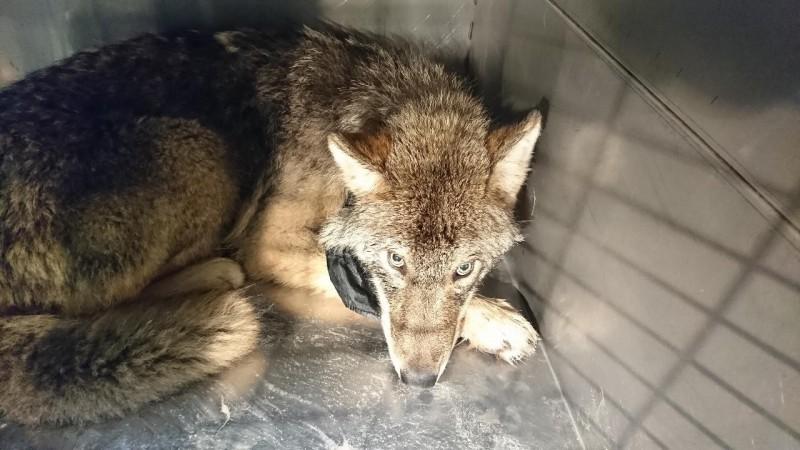 愛沙尼亞一群工人在冰冷的河川中救出「狗狗」,但牠其實是一匹狼!(圖擷自EUPA臉書)