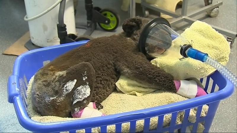 澳洲野火燒進當地一處自然保護區,造成至少350隻無尾熊葬身火窟,被救出的無尾熊也有不同程度的燒傷。(圖擷自PORT MACQUARIE KOALA HOSPITAL臉書)