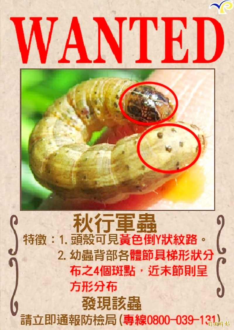 A wanted poster showing how to identify a fall armyworm, a highly destructive invasive crop pest, is pictured in Yilan County yesterday.  Photo: Chan Shih-hung, Taipei Times