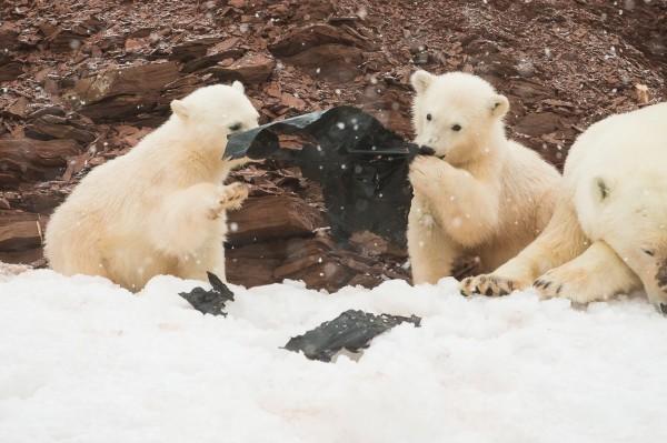 兩隻小北極熊將人類使用的廢棄膠袋當成玩具,試圖將它撕碎。(圖擷自Kevin Morgans臉書)