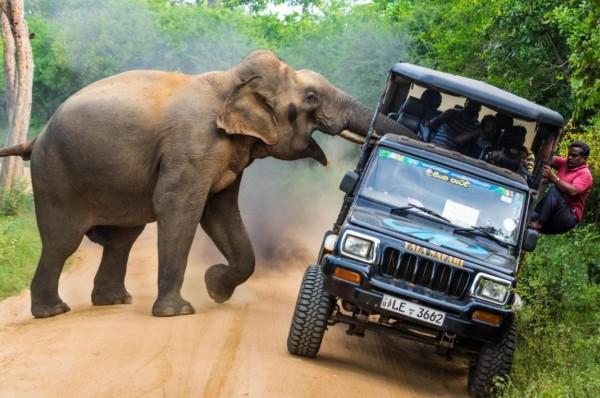 一輛滿載遊客的公園遊覽車在路上遇到一頭大象,大象象鼻深入車中時被卡住,大象在掙脫途中幾乎將車子弄翻,乘客尖叫嚇哭,還有人想跳車逃跑。(圖擷自twitter)