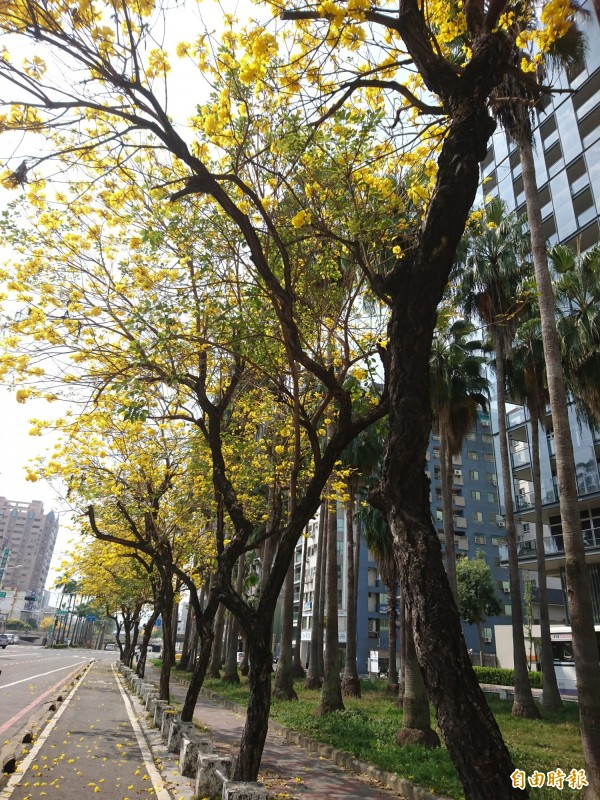 花現台南!林森路—帶黃花風鈴木正盛開。(記者洪瑞琴攝)