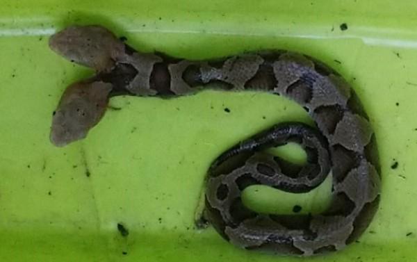 美國維吉尼亞州出現雙頭銅頭蝮,網友嚇傻直問「雙頭蛇該用哪個頭吃東西?」(圖擷自Virginia Wildlife Management and Control臉書)
