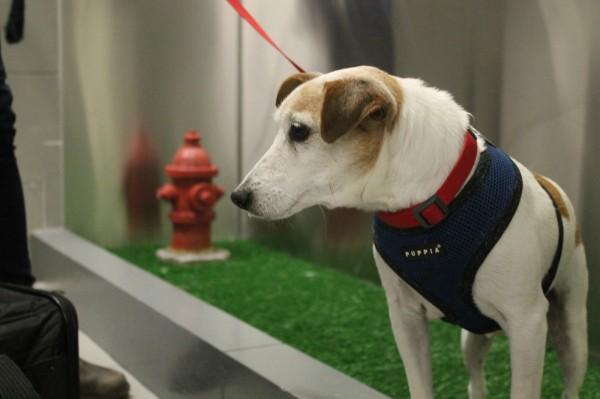 美國紐約的約翰甘迺迪國際機場,近日於第四航廈內設置「寵物解放區」,提供毛小孩能夠自由排泄的空間。(美聯社)