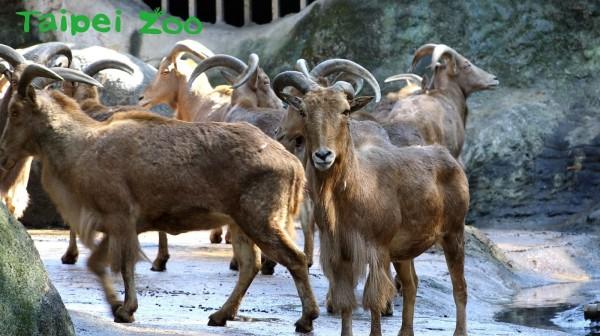 北非髯羊。(擷自台北市立動物園)