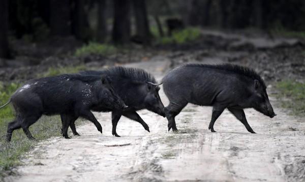 原先栖地在新界郊区的野猪,由于数量逐年增长,导致近年来发生多起野猪闯入市区的案例,甚至还闯入民居,造成居民困扰与危险,香港在2017年就发生738起野猪闯入市区的案例,相较2011年增加了3倍。图为野猪示意图。(欧新社)