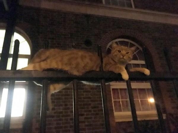 倫敦1隻小黃貓被欄杆刺穿2個洞。(圖擷取自都市報)