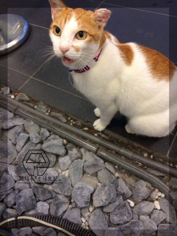 貓站長咪咪的超萌模樣,成為推廣貓纜的活招牌。(圖擷取自「貓站長的生活札記臉書」粉絲團)